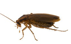 Close up photo of German cockroach