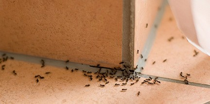 Local ant treatment services