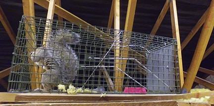 Squirrel caught in one of our cages