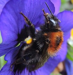 Close up photo of a tree bumblebee