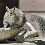 Close up photo of a grey squirrel