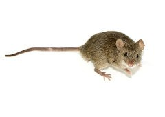 Close up photo of a house mouse