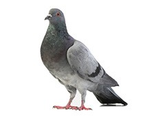 Close up photo of a pigeon.