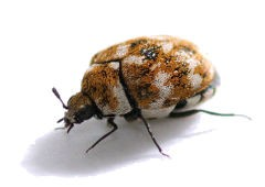 Close up photo of an adult carpet beetle.
