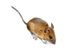 Close up photo of a yellow necked field mouse