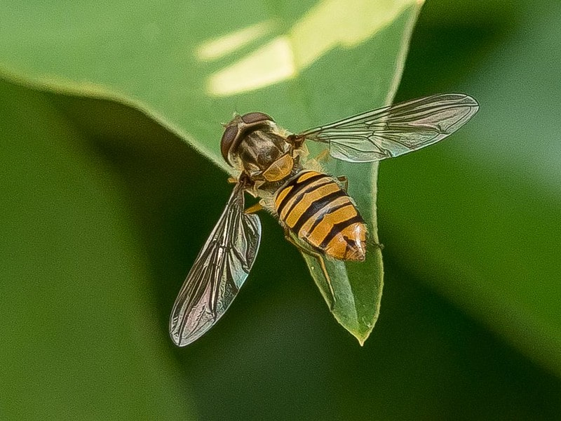 Differences Between Hoverfly and Wasp