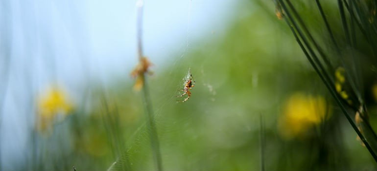Spiders Diet as Natural Pest Control
