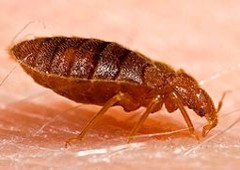 How Does Bed Bugs Come On Your Bed