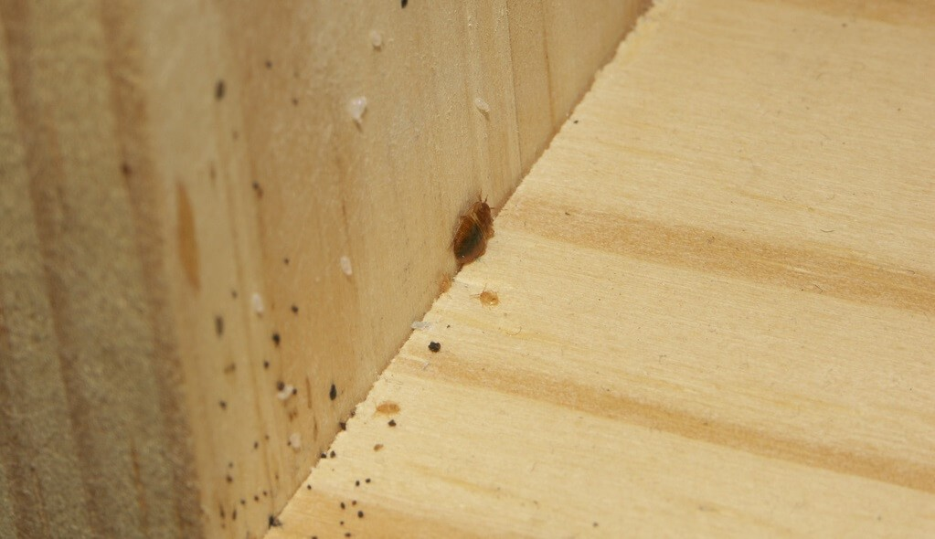 bed bug eggs on wall and floor