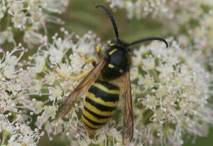 Wasps and wasp stings