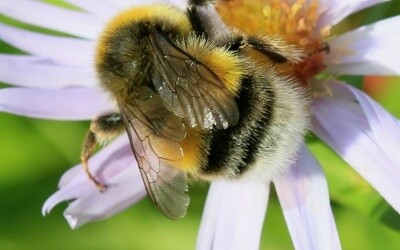 Honey Bees: Extinction Effects and Facts