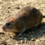 Brown rat - Norwegian rat