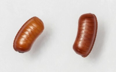 Cockroach eggs in oothecae