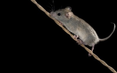 How to Get Rid of Mice Easily?   Fantastic Pest Control