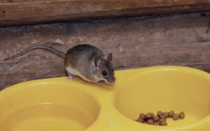 What attracts mice
