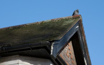 Pigeon damage on a roof