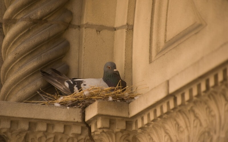 Pigeon nesting on a ledge