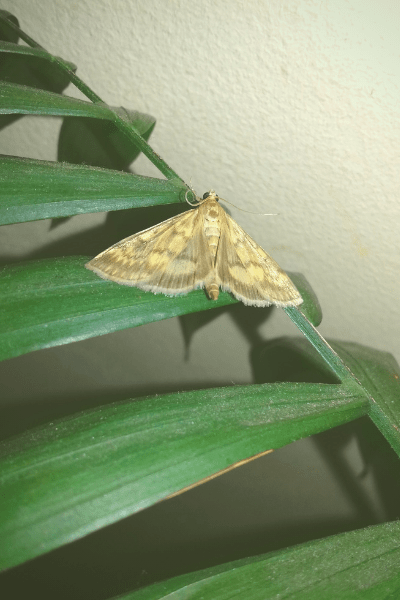 moth with open wings