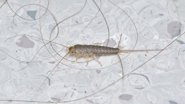 silverfish in the house