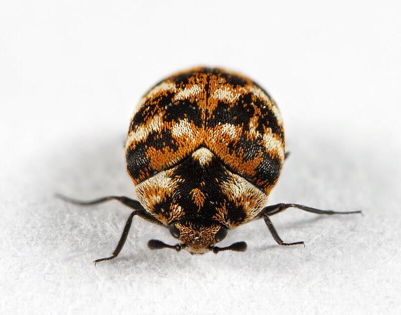 adult carpet beetles' close up