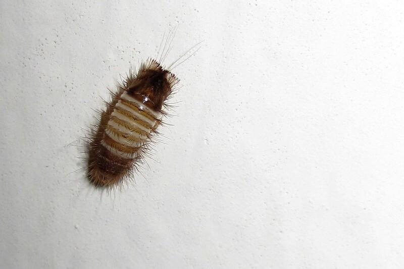 brownish carpet beetle larva