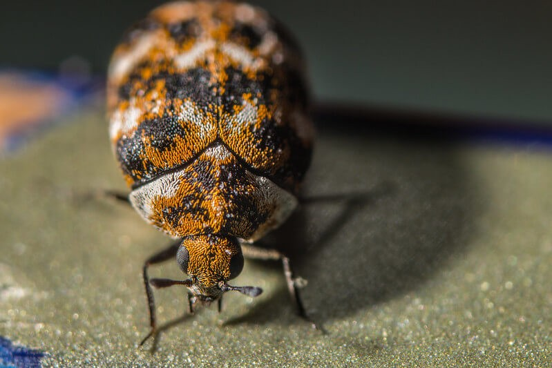 very close macro image of a varied carpet beetle