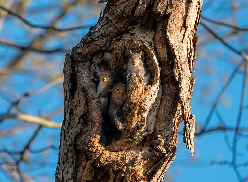 Squirrels nesting in a tree hole