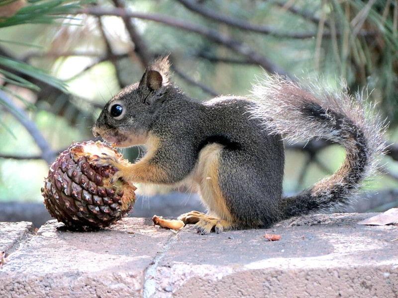 Squirrel eating pine cone