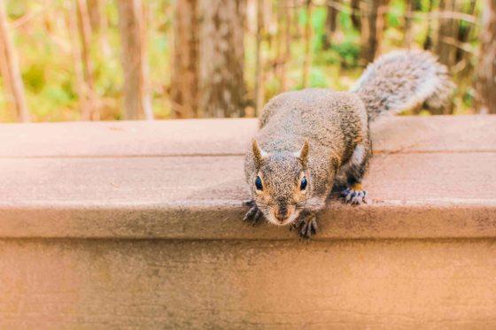 a grey squirrel on property