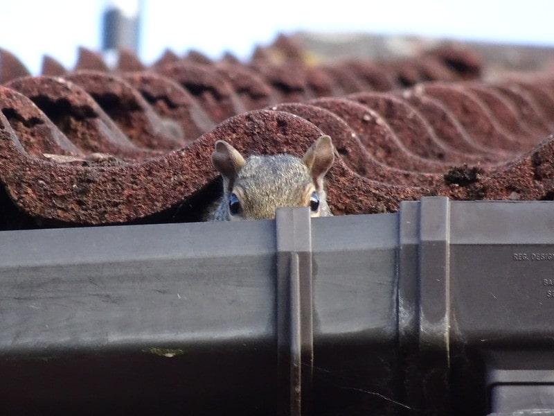 Grey squirrel hiding inside a gutter