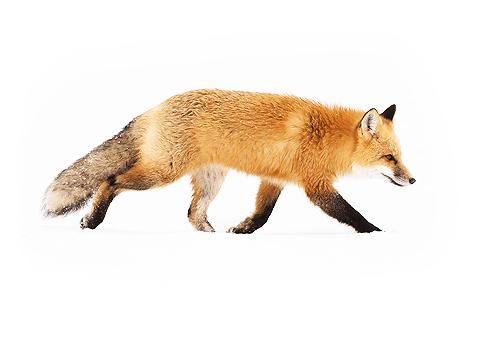 A thumbnail image of a fox