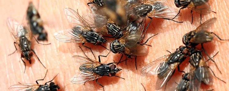 many flies