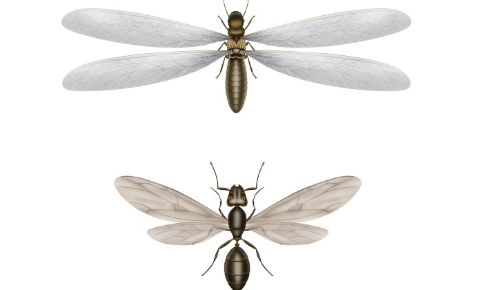 difference between termite and ant